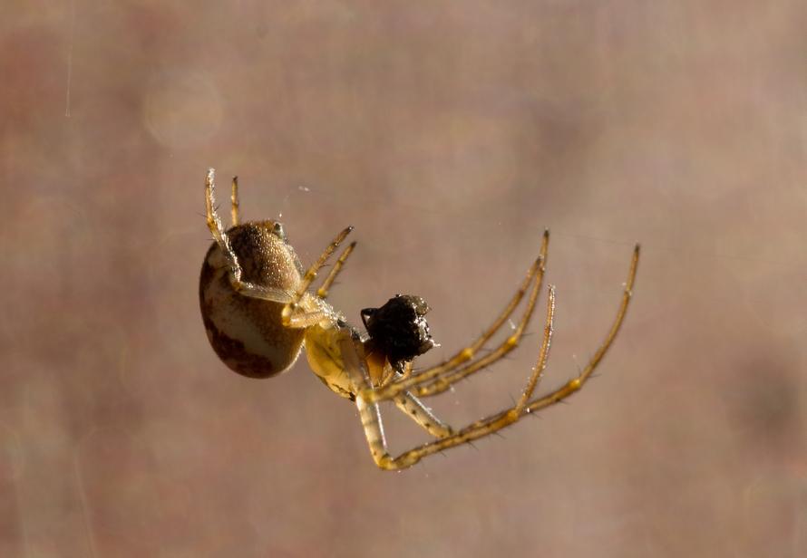 Edderkoppen2