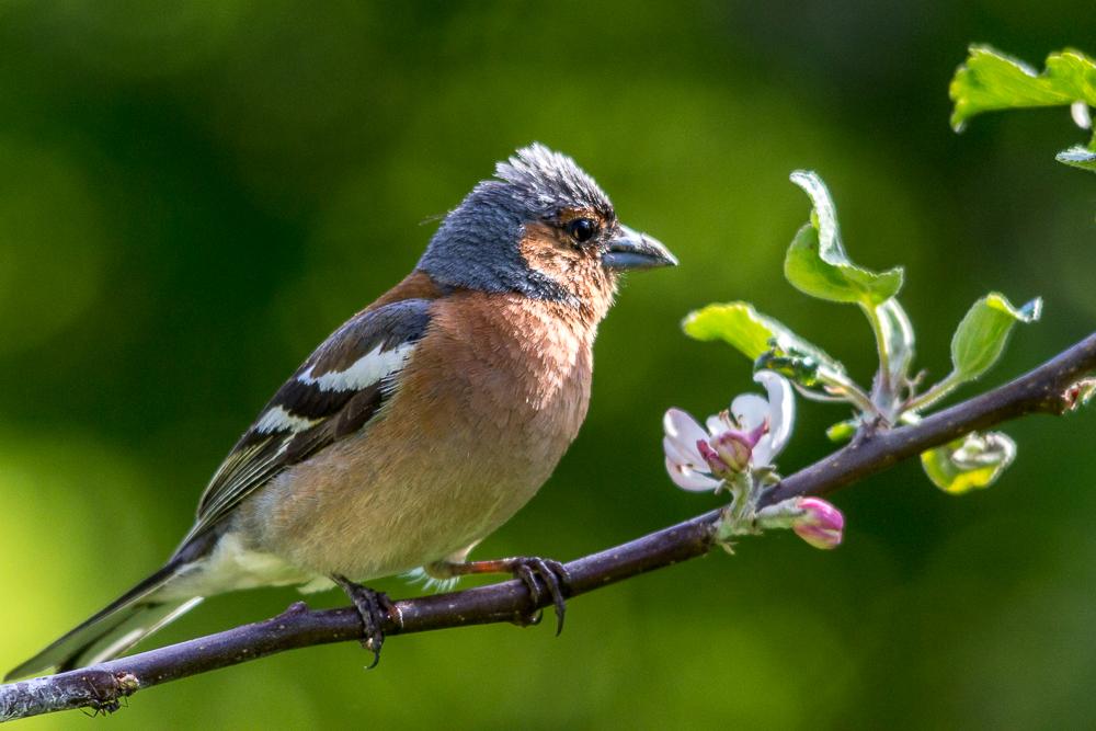 Bokfinken i epletreet 2