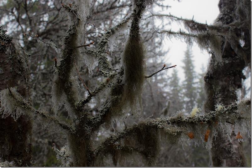 Skjegg på trollskog (1 of 1)