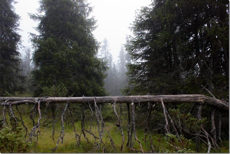 Tåkeskog (1 of 1)