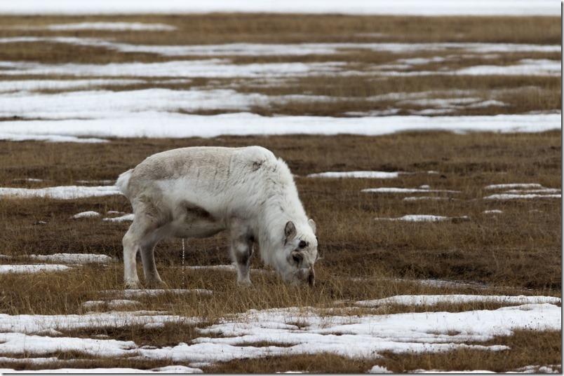 Reinsdyrbukk Svalbard (1 of 1)