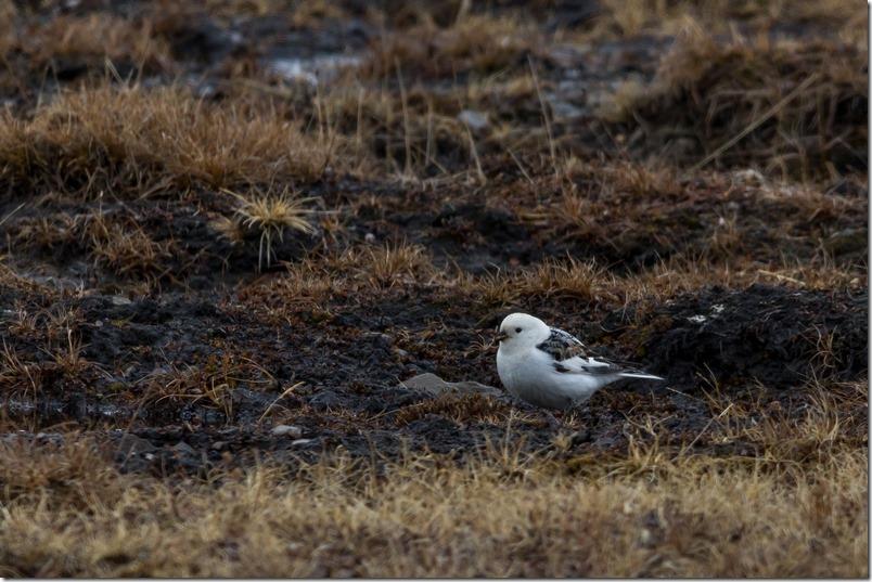 Snøspurv Svalbard (1 of 1)